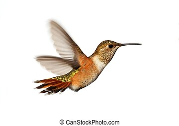 Rufous Hummingbird (Selasphorus rufus) in flight isoloated ...