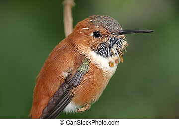 Rufous Hummingbird (Selasphorus rufus) on a perch
