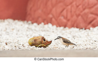 Rufous-naped wren investigates old coconut sitting on white rocks