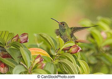 Rufous-tailed Hummingbird Landing - Rufous tailed ...