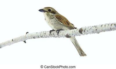 Rufous-tailed shrike (Lanius isabellinus) isolated on a...