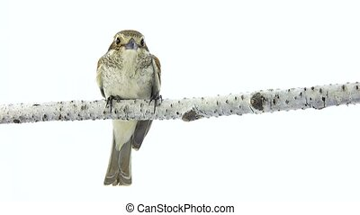 Rufous-tailed shrike (Lanius isabellinus) isolated on a...