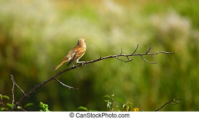 Rufous-tailed shrike on a tree branch