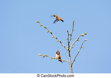 rufous, vôo, hummingbird