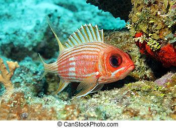 rufus), méxico, longspine, cozumel, squirrelfish,...