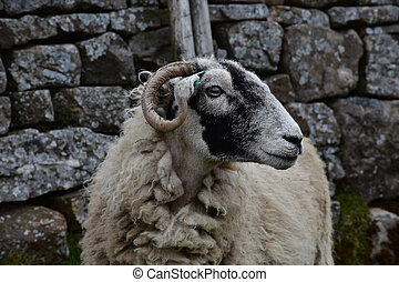 Rugged Weathered Face of a Swaledale Sheep in England