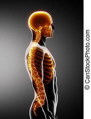 ruggegraat, lateraal, ribben, schedel, aanzicht