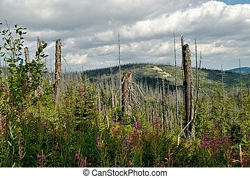 Ruined forest - Forest destroyed by bark beetle
