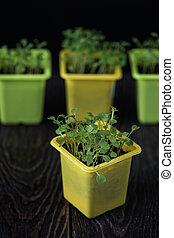 Rukkola growing in a pot