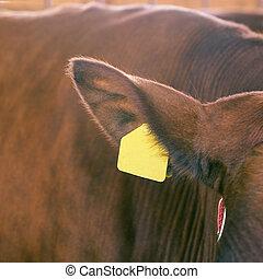 rundvlees, etiket, meat., label, melk, oor, sick., koe, dier...