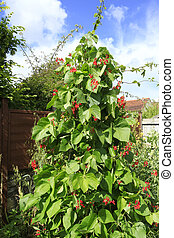Runner bean vine