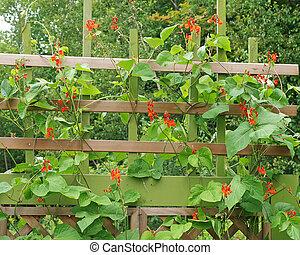 Runner beans growing in garden on trellis - organic scarlet...