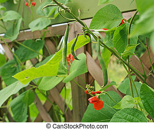 Runner beans - organic scarlet runner beans growing in ...