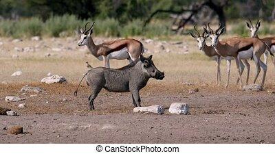 running african pig Warthog, Africa safari wildlife - ...