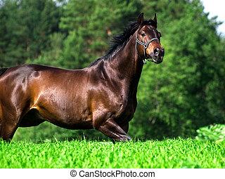 running bay horse in green meadow