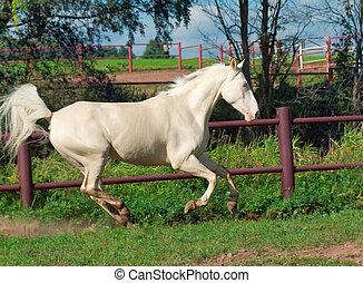 running beautiful horse in paddock