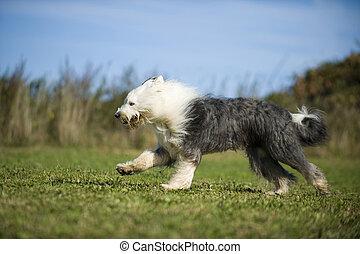 Running bobtail dog