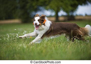 Running border collie dog