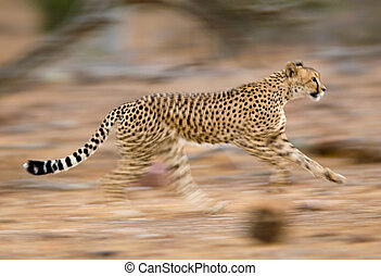 Running cheetah - A motion blur photograph of a young...