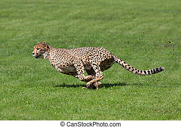 Running cheetah - Photo cheetah running across the grass,...
