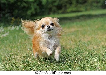 running chihuahua - portrait of a cute purebred chihuahua...