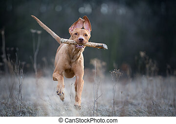 Running crazy portrait of vizsla hunter dog