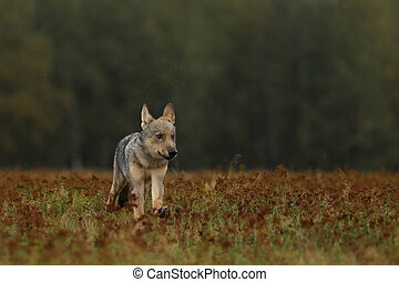 Running cub of Grey wolf in autumn meadow - Canis lupus