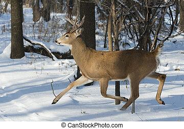 Running Deer - A running Whitetail deer in the winter