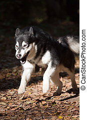 Running Dog breeds Alaskan Malamute on outdoors