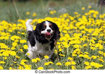 running dog - cavalier king charles spaniel running in ...