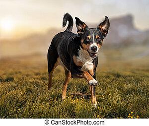 Running dog on grass, appenzeller sennenhund
