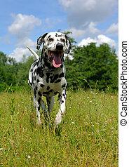 running dog - running Dalmatian on the meadow