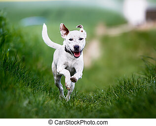 Running dog - Shot of purebred dog. Taken outside on a sunny...
