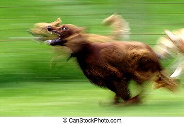 Running Dog - A panned image of an Irish Setter running at...