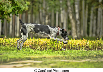 Running Drahthaar hunting dog