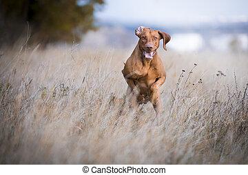 Running funny hunter dog in autumn