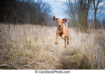 Running funny hunter dog in winter field