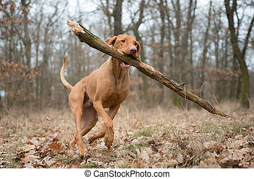 Running funny hunter dog with big branch