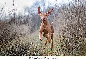 Running funny hunter vizsla dog in autumn
