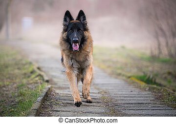 Running german shepherd dog in winter on a concrete path
