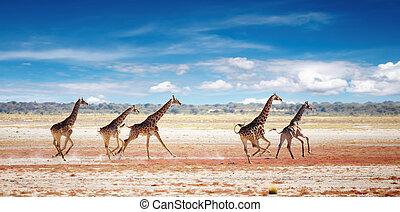 Running giraffes - Herd of giraffes in african savanna,...
