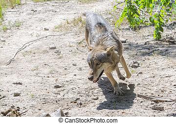 Running gray wolf (Canis lupus)