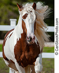 Running gypsy cob front view