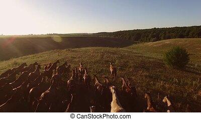 Running herd of horses.