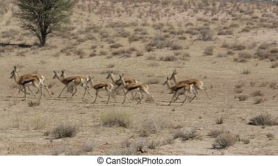 running herd of springbok, Africa safari wildlife - running...
