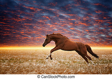 Brown horse running gallop in wheat field, sunset sky, glowing horizon, picture for chinese year of horse 2014