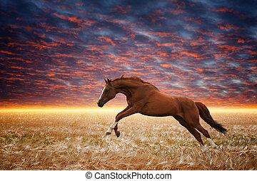Running horse - Brown horse running gallop in wheat field,...