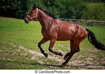 Running horse on the green field at summer time