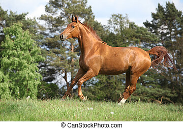 Running horse with beautiful chestnut color on pasturage in ...