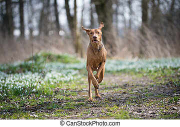 Running hungarian vizsla dog in snowdrops field in forest